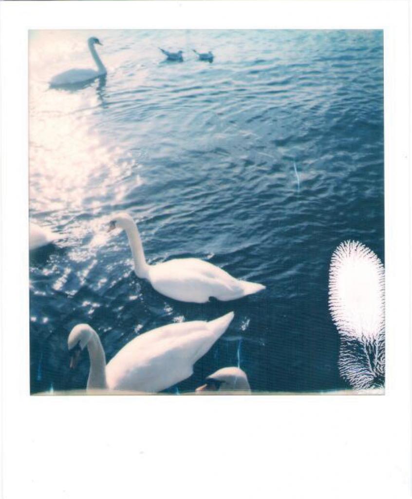 zurich lake swans